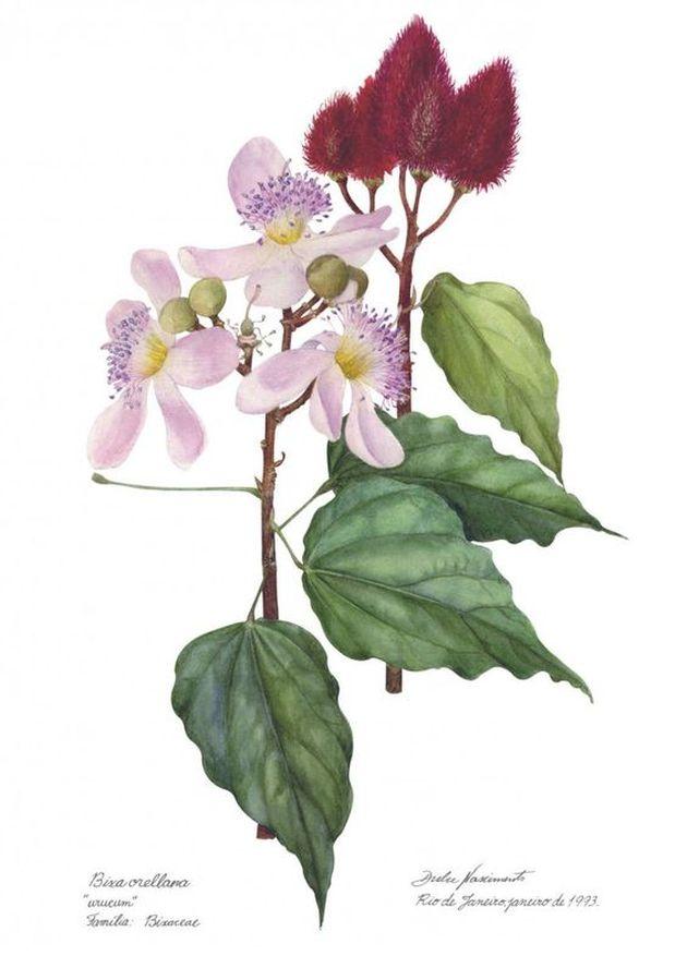 Achiote herbar